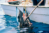 Mexican fishermen with devil ray or mobula, Mobula sp., caught in Mexico, Sea of Cortez, Pacific Ocean