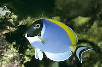 Weißkehl-Doktorfisch, Weißbrust-Doktorfisch, Acanthurus leucosternon, powder blue tang, powderblue surgeonfish, Poisson-chirurgien à poitrine blanche, Doktorfische, Acanthuridae, surgeonfishes