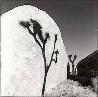 Joshua tree shadow on boulder<br />