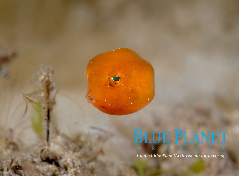 tiny juvenile Trunkfish (Acanthostracion species) Riviera Beach, FLorida, USA, Atlantic Ocean
