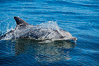 Indo Pacific Ocean bottlenose dolphin, Tursiops aduncus,, South Africa