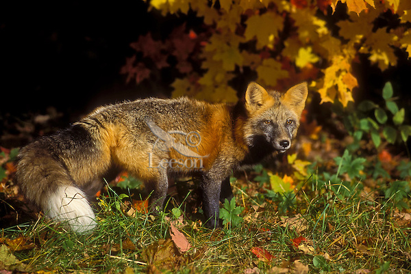 Red Fox (Vulpes vulpes) in autumn maples..Cross colour phase. Minnesota...