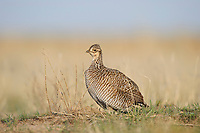 Adult female Lesser Prairie-Chicken (Tympanachus pallidicinctus) on a lek in spring. Cimarron National Grassland, Kansas. April