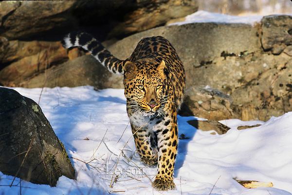 Amur leopard or Korean Leopard (Panthera pardus orientalis)