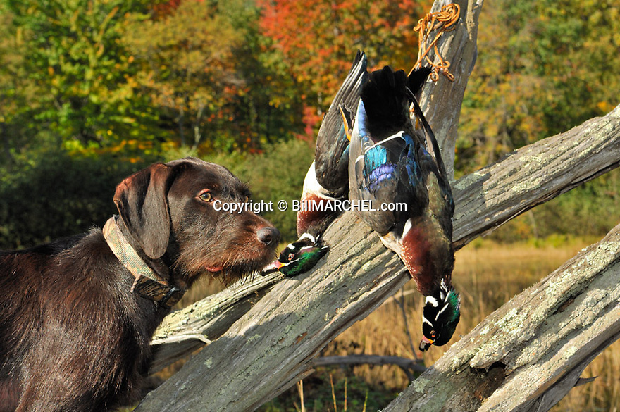 00901-001.11 Pudelpointer (DIGITAL) watches for approaching waterfowl with two bagged drake woodies.  Hunt, ducks, marsh.  H4R1