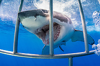 great white shark, Carcharodon carcharias, next to a shark cage, Guadalupe Island, Mexico, Pacific Ocean