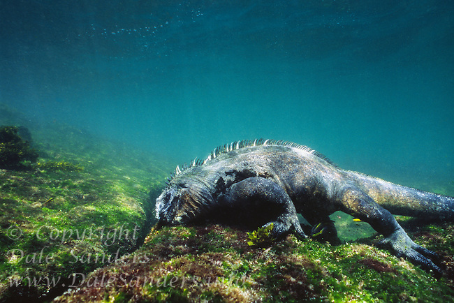 A Marine Iguana (Amblyrhynchus cristatus) grazes on algae underwater in the Galapagos Islands of Ecuador.