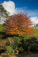 Beech tree in autumn leaf, Chipping, Lancashire.