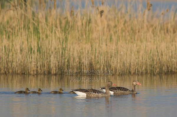 Greylag Goose, Anser anser, adult with young,National Park Lake Neusiedl, Burgenland, Austria, Europe