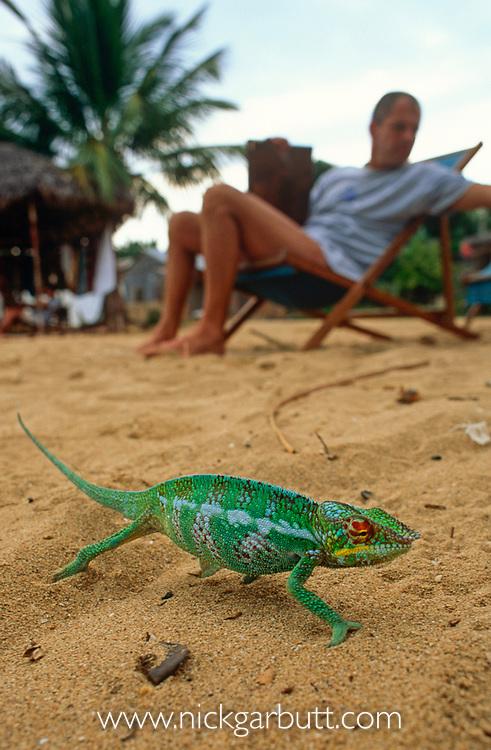 Adult panther chameleon (Furcifer pardalis) on beach beside tourists, Nosy Komba, Madagascar