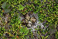 Nest and eggs of Rock Sadnpiper Calidris ptilocnemis ptilocnemis) of the Pribilof Island race. St. George Island, Alaska. July.