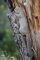 Rock Squirrel, Davis Mountains State Park, TX
