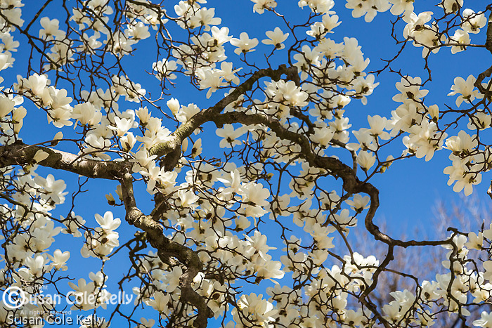 Magnolias in Boston's Back Bay neighborhood, Boston, Massachusetts, USA