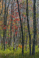 Birch and Maple trees, fall in Acadia National Park, Maine.