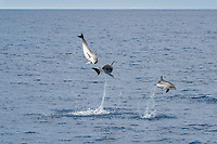 Atlantic Spotted Dolphin (Stenella frontalis) three animals breach simultaneously. Azores, Atlantic Ocean ( series 2 of 4 )