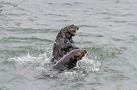 Two Southern Sea Otters (Enhydra lutris nereis) playing  Central California Coast.  This could be two otters playing or a male and female where the male is checking out whether the female is ready to mate.  From the interaction we observed I beleive they were playing.