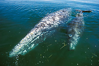 Mother and calf California gray whale, Eschrichtius robustus, in the calm waters of San Ignacio Lagoon, Baja, Mexico, Pacific Ocean