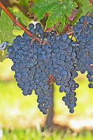 Ripe grape bunches of Merlot in the vineyard  - Château Pey la Tour, previously Clos de la Tour or de Latour, Bordeaux, France