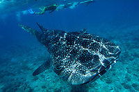 Snorklers observing a whale shark (rhincodon typus) swimming in Ari Atoll, Maldives.