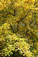 Walnuss, Walnuß, Wal-Nuss, Wal-Nuß, Juglans regia, Walnut, Noyer commun, Herbstlaub, Herbstfärbung, Herbstverfärbung, Herbstfarben, autumn foliage, fall foliage, autumn colors, autumn colours