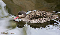 0315-1001  Red-billed Teal (Red-billed Duck), Anas erythrorhyncha  © David Kuhn/Dwight Kuhn Photography.