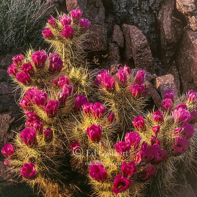 Hedgehogs, Organ Pipe Cactus National Monument, Arizona