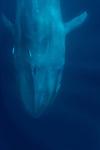 Blue whale head 3-24-18-8940