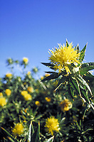 close-up of flowering safflower plant in field. flower, agriculture, oil, crop. Bakersfield California.