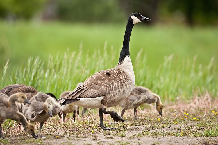 Canadian Geese, North Dakota.