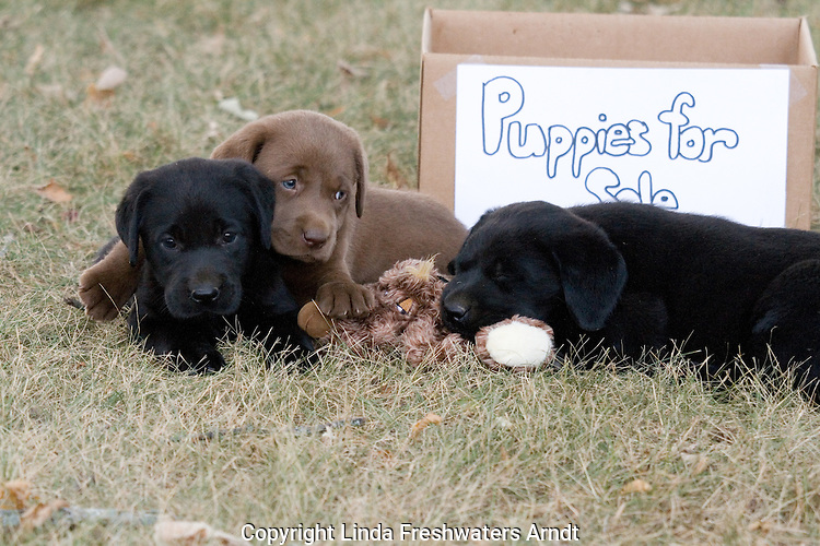 """Black and chocolate labrador retriever puppies playing next to a """"Puppies for Sale"""" box"""