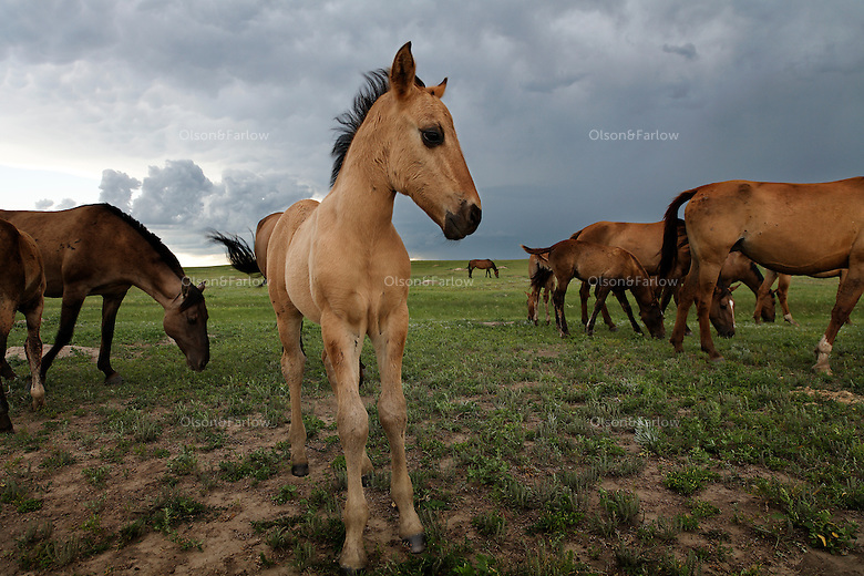 A young foal is alert to thunder and the building storm in the fields of North Dakota.<br /> Horses rescued by Karen Sussman and the International Society for the Protection of Mustangs and Burros..Gila herd are descendants of the Spanish horses brought in the 1600s by the conquistadors.  They have primitive markings, dark mane and tail, a dorsal stripe and zebra stripes on their legs.  .The herd crosses water to move away from a passing thunderstorm.