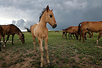 A young foal is alert to thunder and the building storm in the fields of North Dakota.<br />