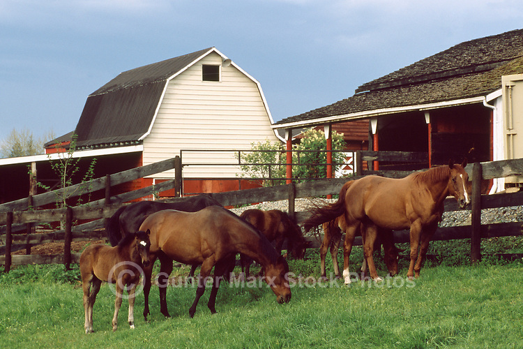 Horses grazing in a Pasture on a Fraser Valley Farm, BC, British Columbia, Canada