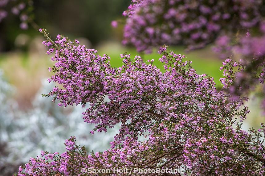 Erica canaliculata, Christmas Heather Scotch Heather, or Pink Heath; winter blooming flowering shrub San Francisco Botanical Garden