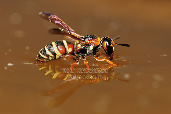 Paper Wasp (Polistes sp.), wasp drinking from water surface, Laredo, Webb County, South Texas, USA