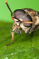 Pferdebremse, putzt sich, beim Putzen, putzt sich mit den Vorderbeinen die Augen sauber, Porträt, Portrait mit Facettenauge, Auge, Augen, Komplexauge, Komplexaugen, Facettenaugen, Insektenauge, Insektenaugen, mit stechenden Mundwerkzeugen, Mundwerkzeuge, Pferde-Bremse, Bremse, Tabanus sudeticus, dark giant horsefly, Giant Horsefly, eye, eyes, compound eye, compound eyes, mouthpart, mouthparts, horse-fly, Bremsen, Tabanidae, Horseflies, Horse-flies