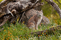 Siberian Lynx sitting under an old tree stump amongst some wildflowers - CA