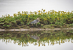 great blue herons, birds, wildlife, Yellowstone