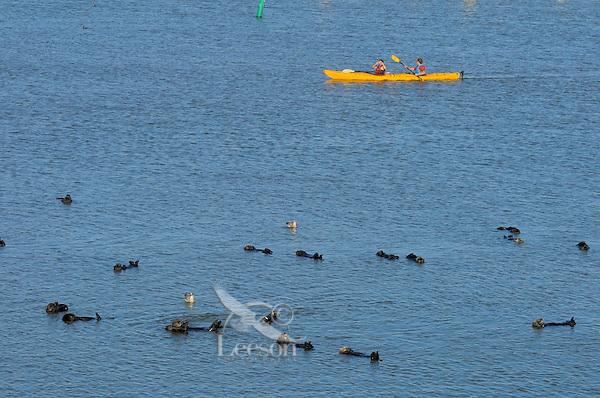 Sea Otter (Enhydra lutris).  Kayakers paddling near a raft of sea otters along the California coast.