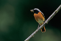Common Redstart, Phoenicurus phoenicurus, male with insects, Kuessnacht, Switzerland, June 1995