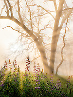 Oak tress and lupines in rain with fog. Redwood National and State Parks, California