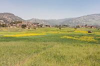 Bhaktapur, Nepal.  Mustard Growing in Fields between Bhaktapur and Changu Narayan.  Haze in air is from nearby brick factories.