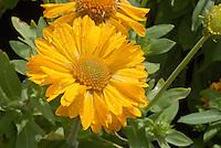 Gaillardia 'Mesa Yellow' in yellow flowers closeup macro . Blanket Flower