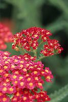 Medicinal herb Achillea millefolium 'Paprika' - Yarrow flowering in garden