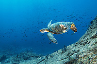 green sea turtle, Chelonia mydas, with acorn barnacles, Chelonibia sp., Gulf of California, Sea of Cortez, Baja California, Mexico, Pacific Ocean