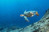 green sea turtle, Chelonia mydas, with acorn barnacles, Chelonibia sp., Gulf of California, Sea of Cortez, Baja California, Mexico, Pacific Ocean