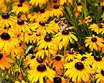 A bee and a butterfly explore the flower garden at Jefferson Vineyards.