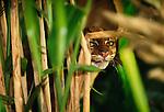 Bornean red or bay cat, Borneo, Indonesia