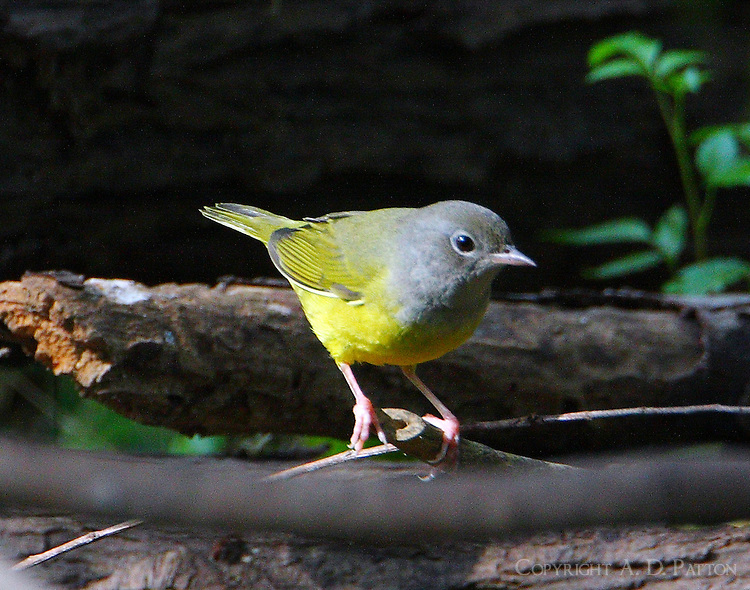 Adult female mourning warbler in fall migration