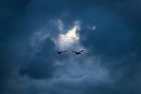 Two Canada geese fly toward a bright opening in an intriguing cloud formation over San Francisco Bay